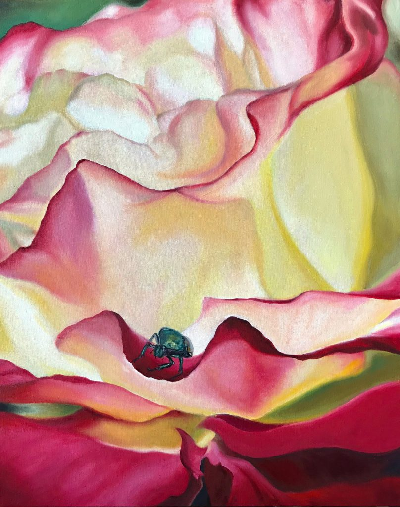 Pollinators: Red-edged cream rose visited by iridescent green Japanese beetle